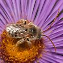 Long-horned bee - Melissodes