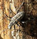 Mottled Gray Beetle - Rhagium inquisitor