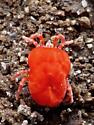 Red Velvet Mite - Trombidium