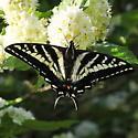 Papilionidae: Papilio eurymedon - Papilio eurymedon