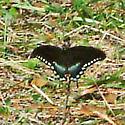 December Spicebush In Alabama - Papilio troilus - male