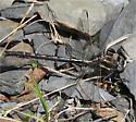 What Species is this? (Binomial name please) - Phanogomphus spicatus