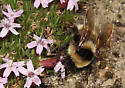 Bombus sp. nectaring on Moss Campion, Silene acaulis subacaulescens;  - Bombus balteatus