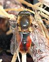 Eristalinae - Polydontomyia curvipes - male
