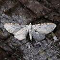 910374Eupithecia cretaceata - Eupithecia cretaceata