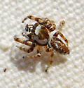 M. chera male - Metaphidippus chera - male