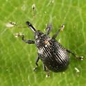 weevil - Anthonomus corvulus
