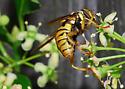Hymenoptera Mimic - Spilomyia alcimus