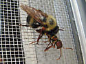 Fly & Beetle ID? - Laphria thoracica