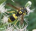 1677 - Ancistrocerus gazella - female