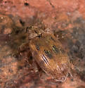 Weevil for ID - Orchestes steppensis