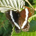 White Admiral - Limenitis arthemis