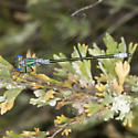 Emerald Spreadwing - Lestes dryas - male