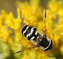 Syrphini? - Dasysyrphus creper - female