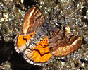 moth with orange hindwings - Dasyfidonia avuncularia - male