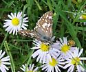 Small  Butterfly - Pyrgus