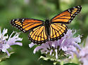 Viceroy butterfly at bugguide gathering - Limenitis archippus