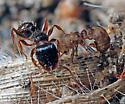 Tetramorium caespitum and Anergates atratulus - Anergates atratulus - male