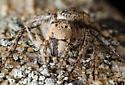 California Spider - Hamataliwa grisea