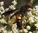 unknown wasp  - Cerceris