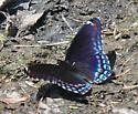Butterfly - Limenitis arthemis