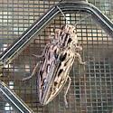 Pine Borer - Chalcophora angulicollis