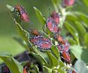 Bug - Arvelius albopunctatus