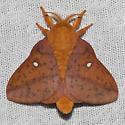 Spiny Oakworm Moth - Hodges#7716 - Anisota stigma - male