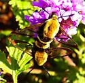 Snowberry clearwing - Hemaris diffinis - male - female