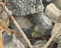 Funnel Weaver? in RailRoad Ballast - Agelenopsis