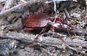 Red Darkling Beetle? - Rhadine