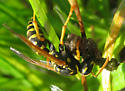 Wasp and caterpillar (I think) - Polistes dominula