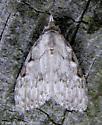 Unknown moth - Nola triquetrana