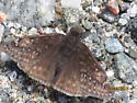 Unknown Butterfly - Erynnis