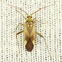 Mirid - Adelphocoris lineolatus