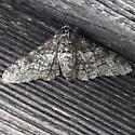 Grey mottled moth - Biston betularia