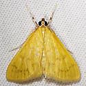 5155 - Loxomorpha flavidissimalis