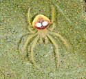 Cute little guy - Araneus - male