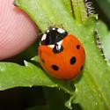 Coccinella septempunctata - Seven-spotted Lady Beetle - Coccinella septempunctata