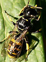 Small Wasp? - Ectemnius cephalotes