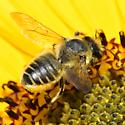 Megachile - Megachile perihirta - female