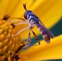 lanky fly - Stylogaster neglecta
