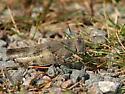 Acrididae to identify... - Spharagemon saxatile - female