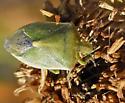 Red-shouldered Stinkbug? - Thyanta custator