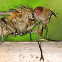 Large Tan Fly