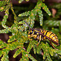 A Wasp - Vespula