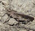 IMG_3790 - Chortophaga viridifasciata - male