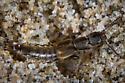Cafius lithocharinus