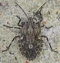 Brochymena affinis? - Brochymena