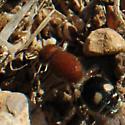 Velvet Ant? - Dasymutilla quadriguttata